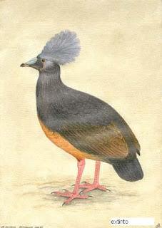 Choiseul pigeon