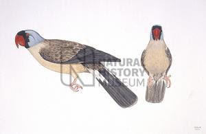 papagayo de las Mascareñas Mascarinus mascarin aves extintas del Oceano Indico