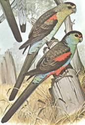 perico del paraiso Psephotus Psephotellus pulcherrimus aves de Australia extintas