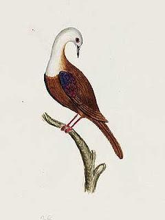 paloma terrestre de la isla Norfolk Gallicolumba norfolciensis