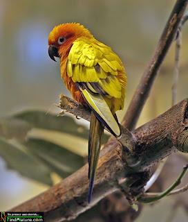 perico dorado Aratinga sostitialis aves en extincion de America