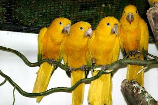 Cotorra amarilla Guaruba guaruba aves en extincion de Brasil