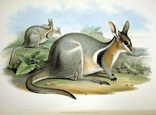 canguro rabipelado Onychogalea fraenata