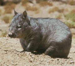 Predetores de wombat con nariz peluda