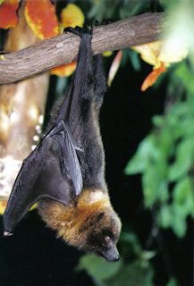 Rodrigues flying fox