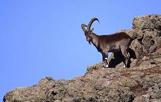 cabra montesa de Etiopia Capra wallie