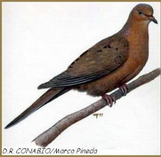 zenaida del Socorro Zenaida graysoni aves extintas en Mejico
