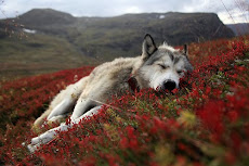 I Love Wolves