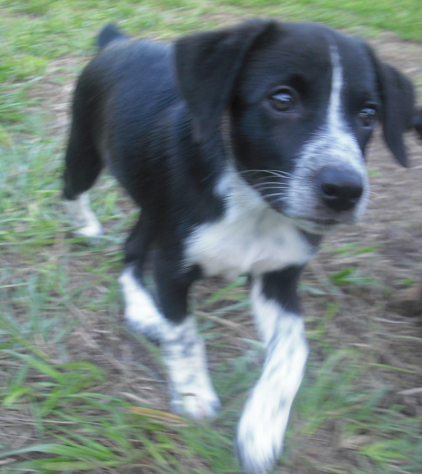 Ryder the Aussie Heeler Puppy ~ Adopted!