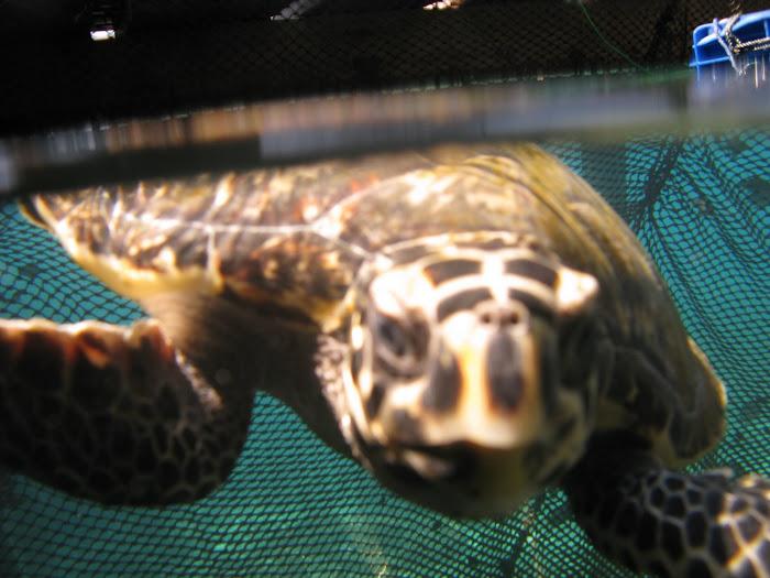 Dotonton kura-kura
