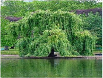 الشجرة التي يصنع منها الاسبرين Aspein