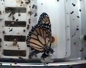 Borboleta monarca emerge de sua crisálida no espaço