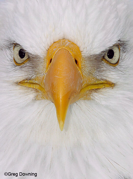 [Bald-Eagle-Face.jpg]