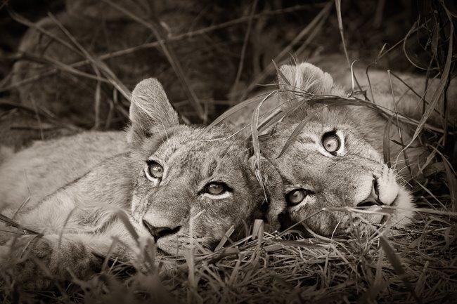 [AndyBiggs_TA18_LionSiblings.jpg]