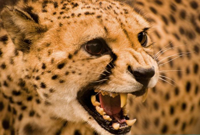 [cheetahsusanhenry.jpg]