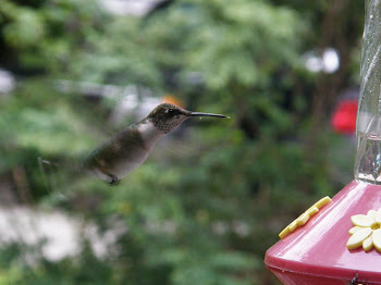 Hummingbird at my window