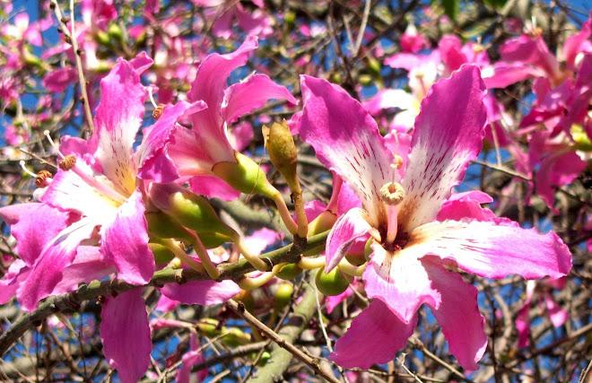 PALO BORRACHO (Chorisia Speciosa) ...