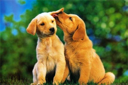Golden Retriever Puppy Love wallpaper 1080p