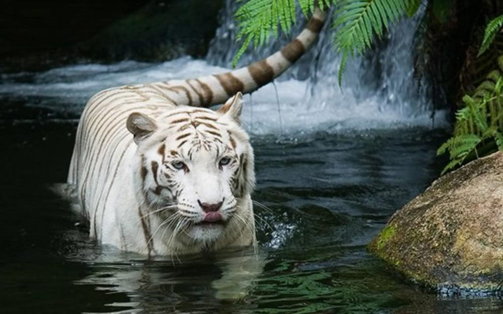 white tiger wallpapers. tigers wallpapers. White Tiger