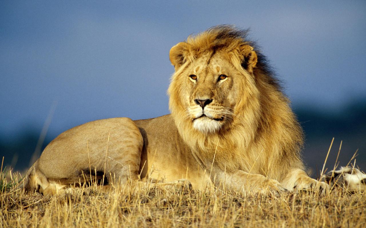 Lion animal wallpaper