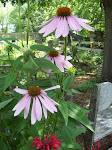 My Cone Flowers