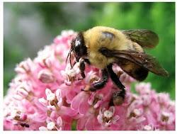 Milkweed and Bumblebee