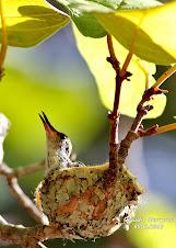 Beija Flor (colibri)