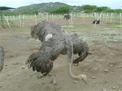 Aves avestruces magdaleno a tama o elefante for Lagunas para cachamas