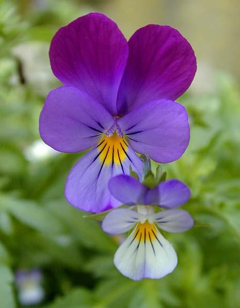 Nel mondo di krilu 39 violette fiori di primavera for Fiori di primavera