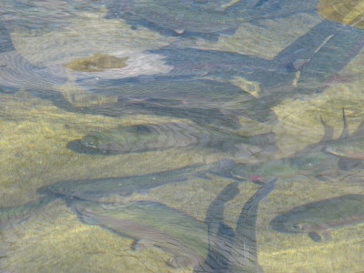 Preserving manchaug pond looking for trout try lake for Mass fish stocking