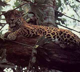 The Jaguar (forest Floor And Undercanopy)