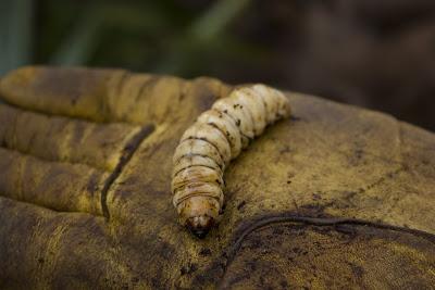 Larva de Paysandisia