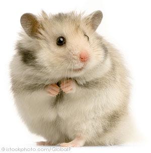 hamster 000002566309 Hamster