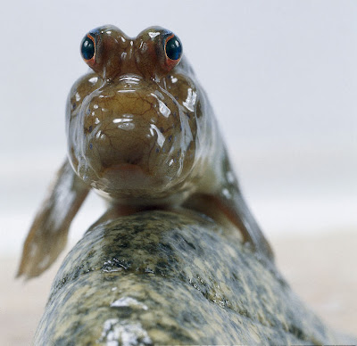 Mudskipper Fish Evolutionary Marvel on oscar cichlid with fry