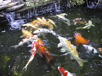 Fish index common carp or koi for Koi carp pond