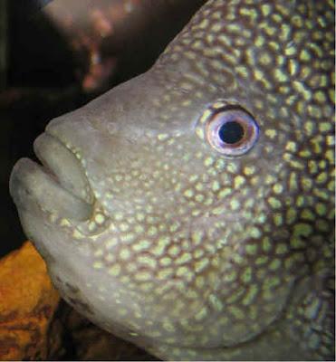 Texas Cichlid Fish | Fish Index Texas Cichlid Herichthys Cyanoguttatus