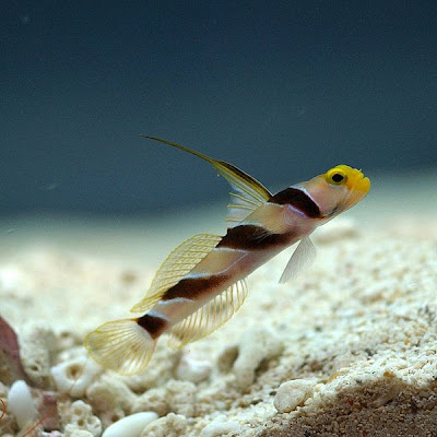 Banded Watchman Goby Watchman Goby or Blackray