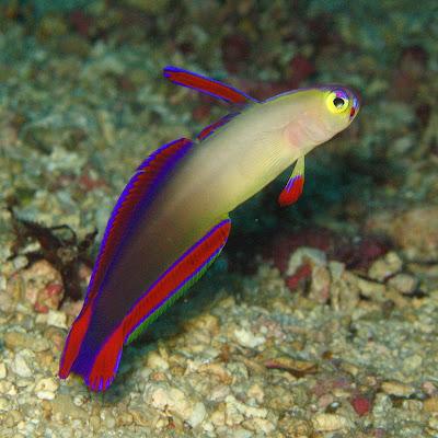 Fish Index: Firefish (Nemateleotris decora)