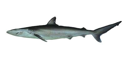Fish Index: Spinner Shark (Carcharhinus brevipinna)