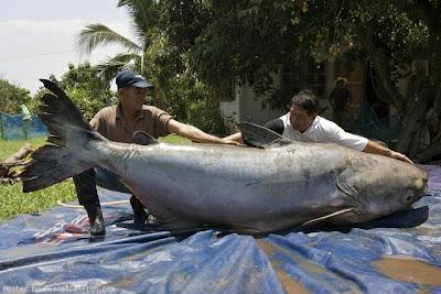 World's Largest Fresh Water Fish http://4.bp.blogspot.com/_ckBlasgNSzg/SMBc8gAr1tI/AAAAAAAAHYw/cfXQ23iNubQ/s400/Mekong+Giant+Catfish.jpg