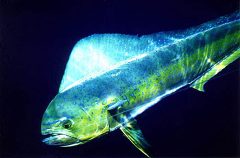 Mahi Mahi Or Dolphin Fish Coryphaena on oscar cichlid with fry