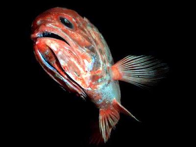 Jungle life deep sea fishes pics and amazing videos for Sea perch fish