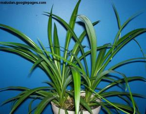 Buy A Spider Plant Free Shipping Include Inside The United States!