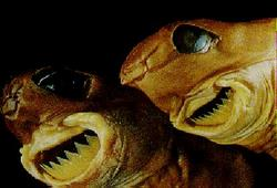 Cookiecutter Shark - Takes chunks of flesh out of its victims with ease