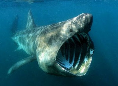 Basking Shark Cetorhinus Maximus on oscar cichlid with fry