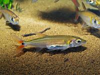 Картинки по запросу acestrorhynchus falcatus