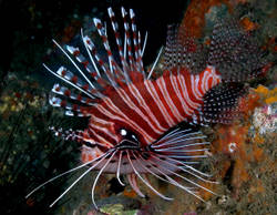 Antennata Lionfish