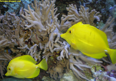 Yellow Tang Fish Zebrasoma flavescens