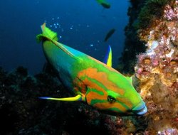 Banana Wrasse