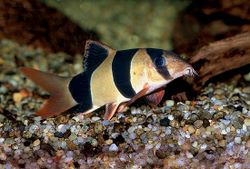 Clown Loach